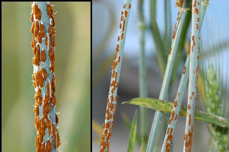 wheat_rust
